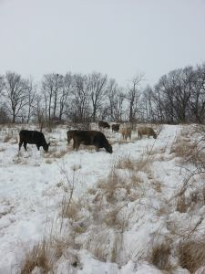 Some of the House's cattle grazing in the snow.