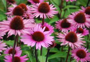 There are 2 different varieties. Echinacea angustifolia, used for immune system support, and Echinacea purpurea (pictured), use for urinary tract infections.