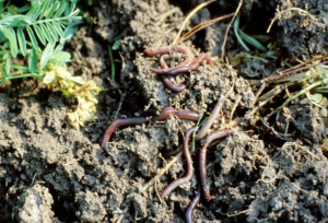 Healthy soil should have thriving biological activity, such as these earthworms.