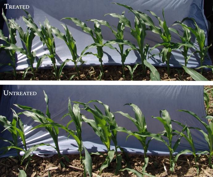 Corn Plant Side-by-Side Comparison