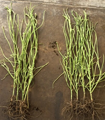 bare soybean plants cropped 2